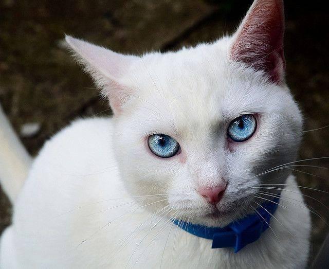 Белые кошки: генетика, характер и белая магия