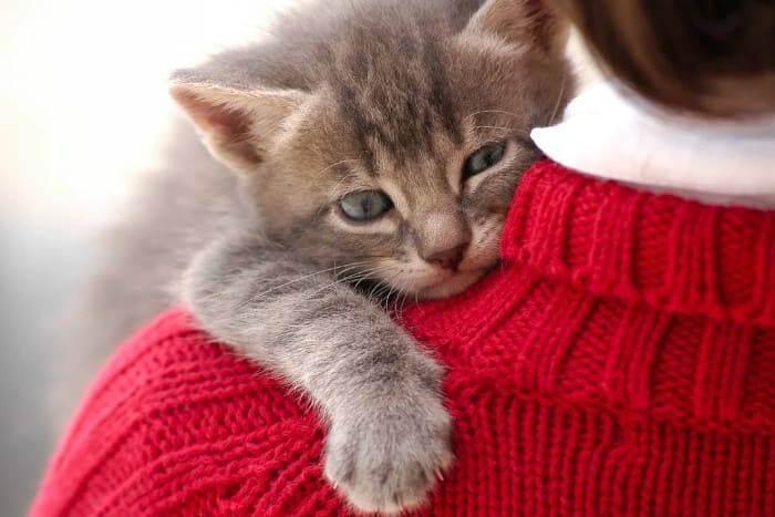 Содержание и уход за британской кошкой