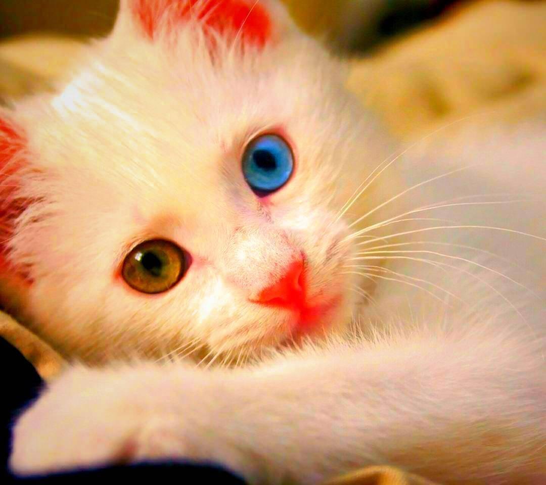 Кошки с разными глазами кошки с разными глазами