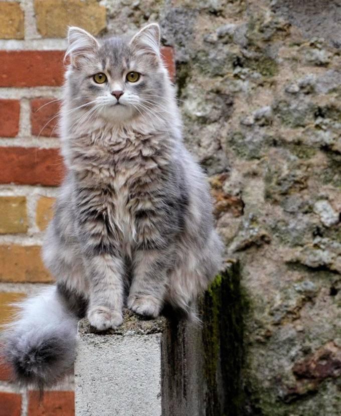 Какие они, серые коты: что приносят в дом, особенности характера
