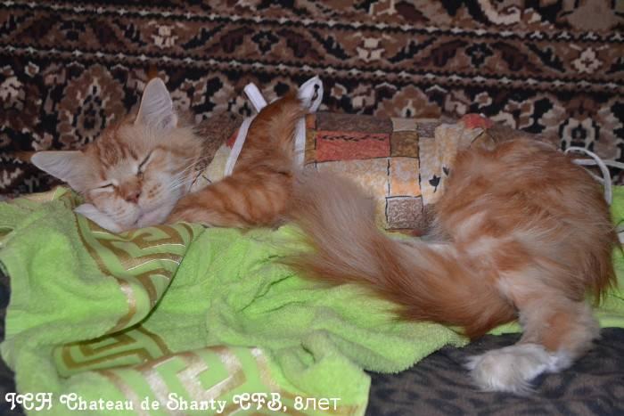 Когда кастрировать мейн-куна – в каком возрасте можно делать операцию котам и кошкам