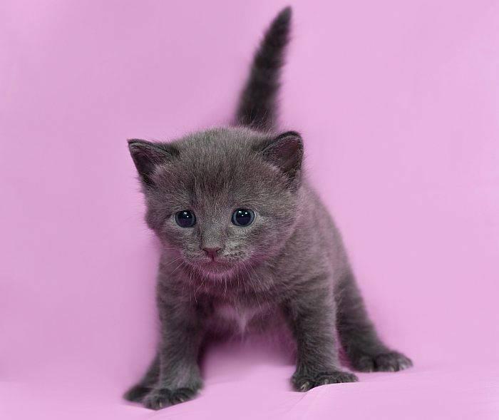 Выбираем британского котенка шоу-класса
