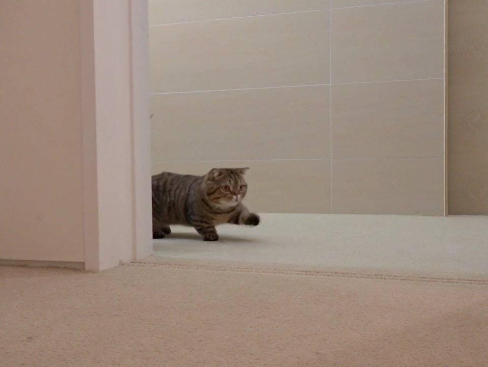 Как отучить кошку прыгать на стены и дверные косяки