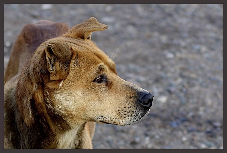 Помесь дворняги и овчарки (14 фото): характеристики метиса, особенности характера. содержание щенков