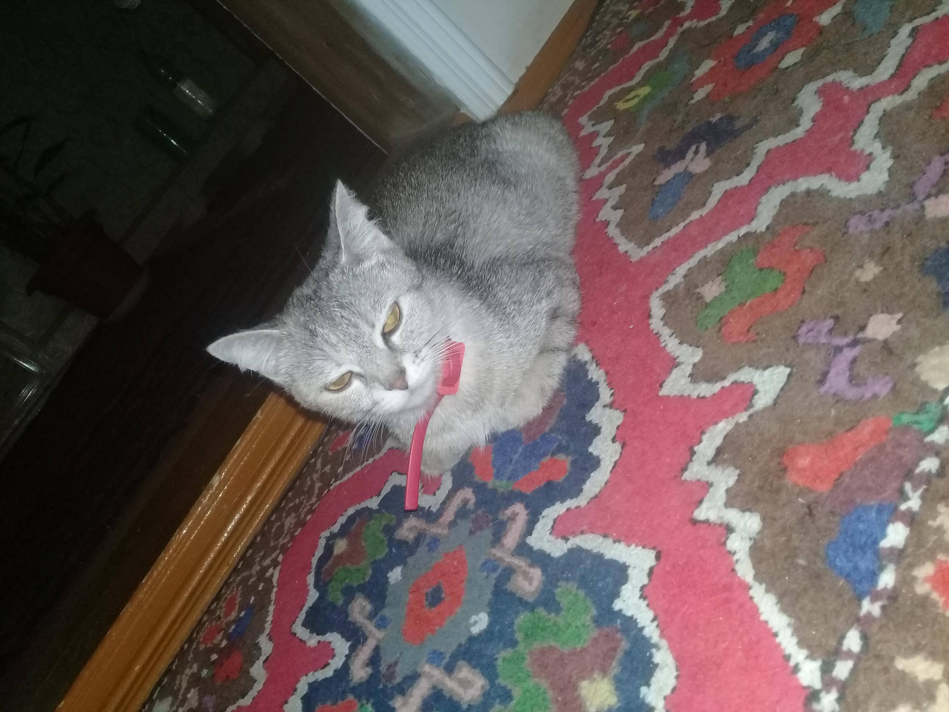 Вздутый, твердый живот у кота: что делать, возможные причины, сопутствующие симптомы, лечение и прогнозы