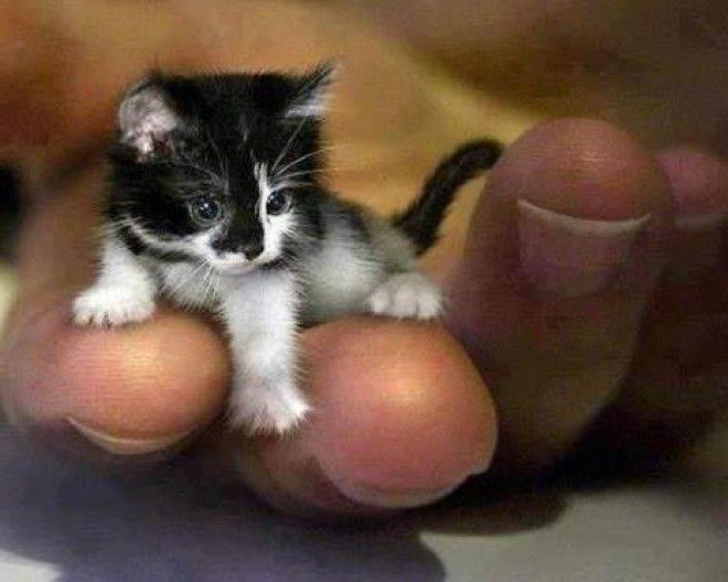 Сингапура — кошка маленького роста