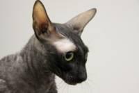 Немецкий рекс: фото и описание экстерьера кошек этой породы, характер и особенности содержания
