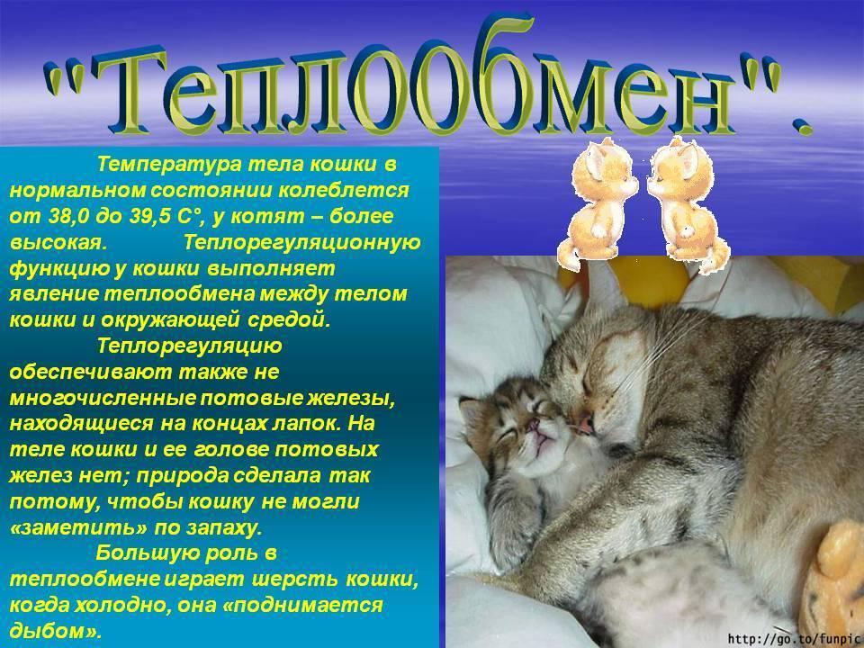 Какая нормальная температура тела у кошек и как ее измерить