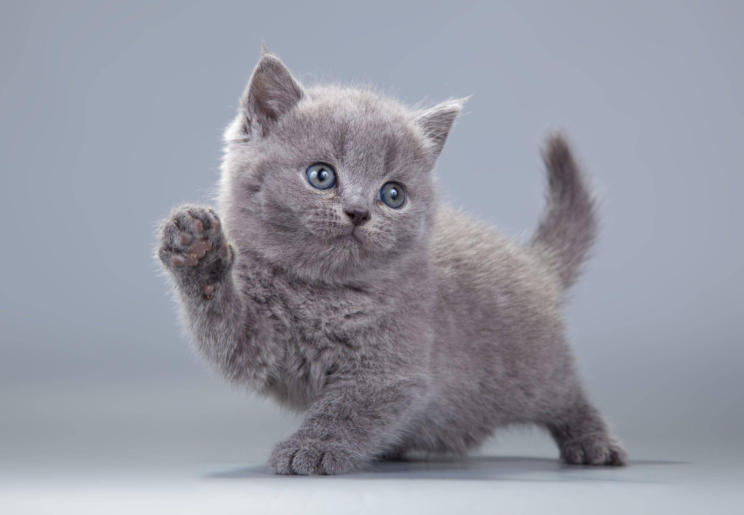 Красивое имя для британского котенка мальчика