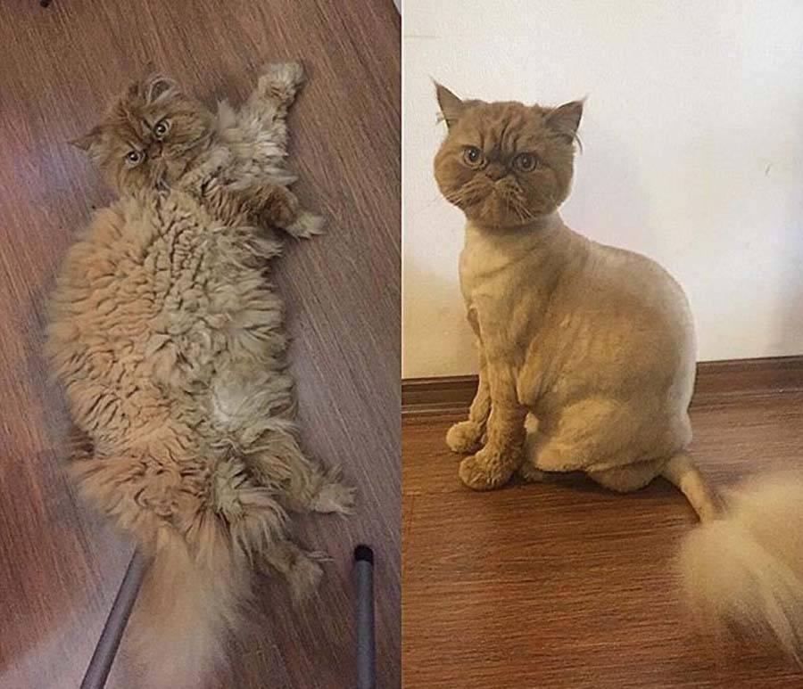 Как подстричь кота или кошку в домашних условиях: инструкция правильной стрижки шерсти машинкой и ножницами с видео