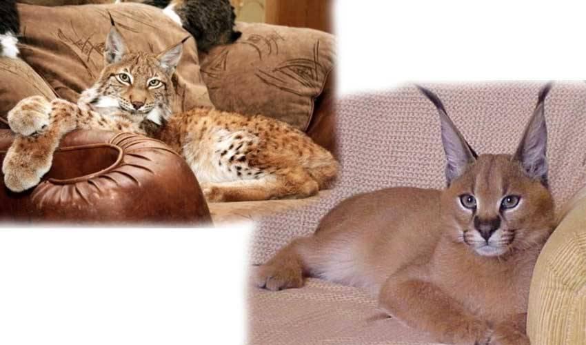 Беспородные кошки: описание, характер, советы по содержанию и уходу, фото