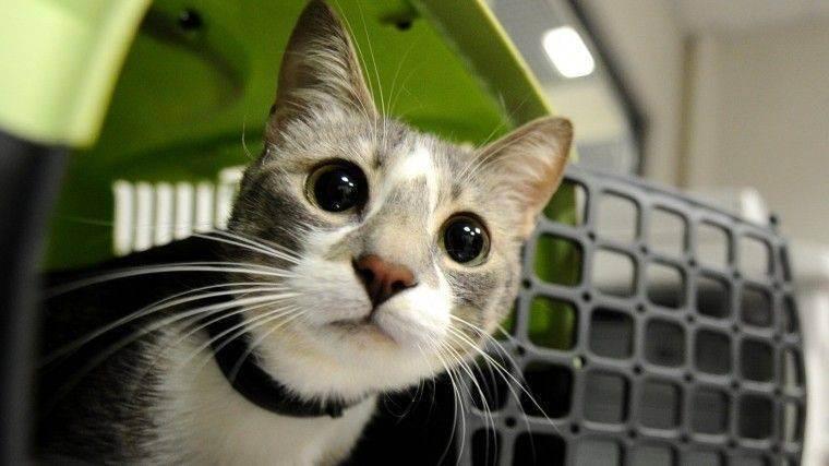 Ход котом: минтранс отказался упрощать правила авиаперевозки питомцев