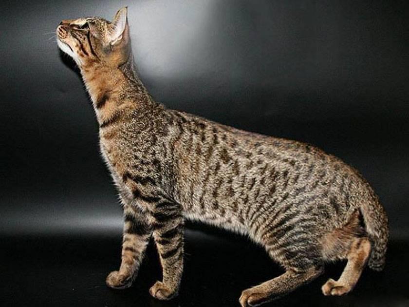 Кошки с большими ушами: особенности, домашние, гибридные, дикие