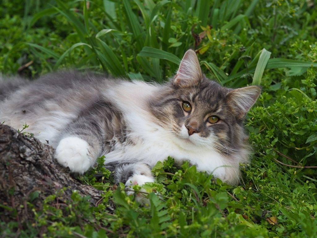 Норвежская лесная кошка - характер и повадки, шерсть и окрас, уход за котятами и лечение болезней