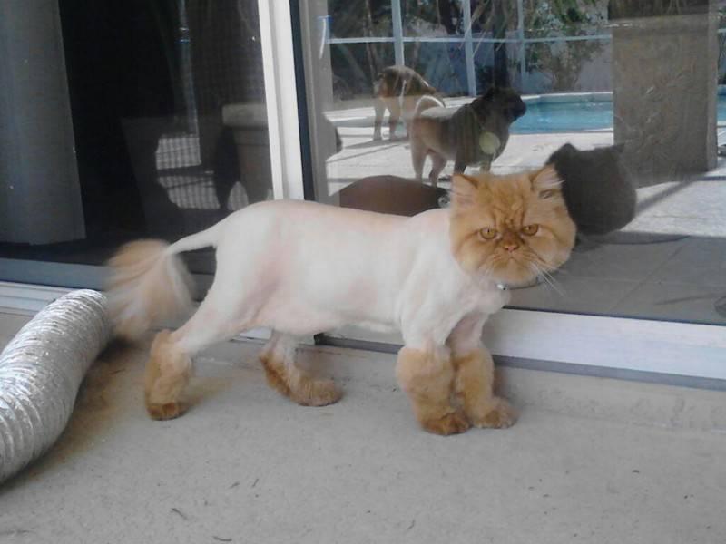 """Стрижка британских, шотландских и персидских котов: под льва, """"дракон"""" и другие варианты с фото"""