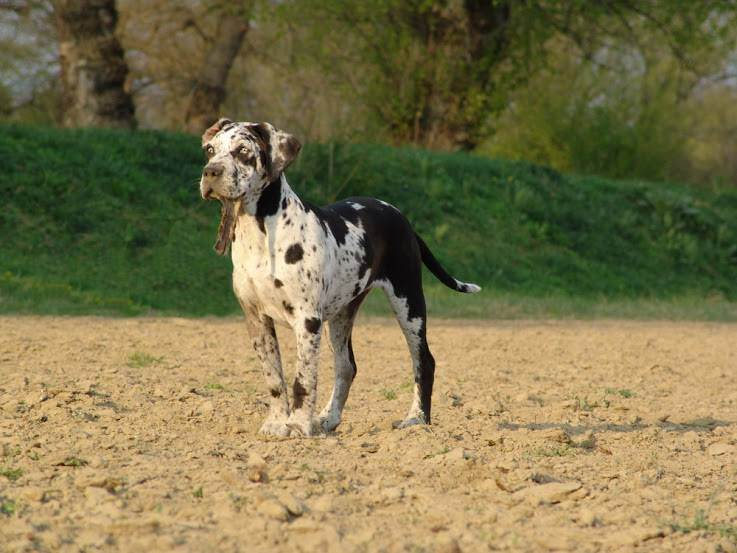 Леопардовая собака катахулы: описание породы с фото и видео