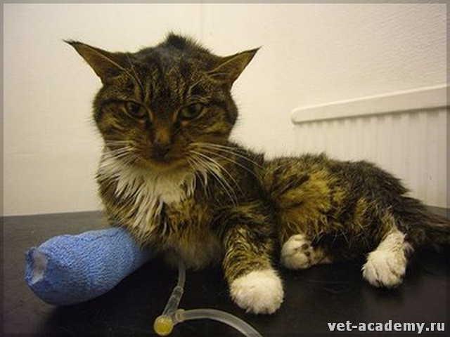 Хпн у кошек и котов: симптомы и лечение | прогноз, сколько живут