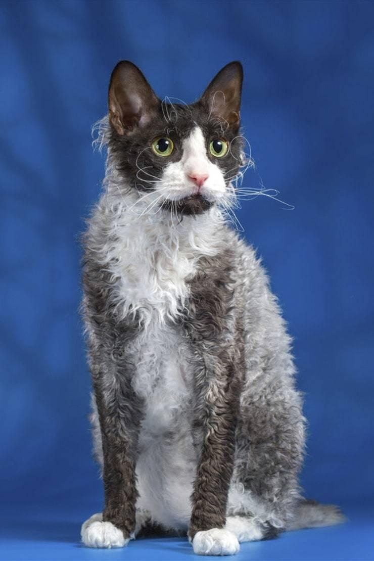 Корниш рекс-аристократическая кошка