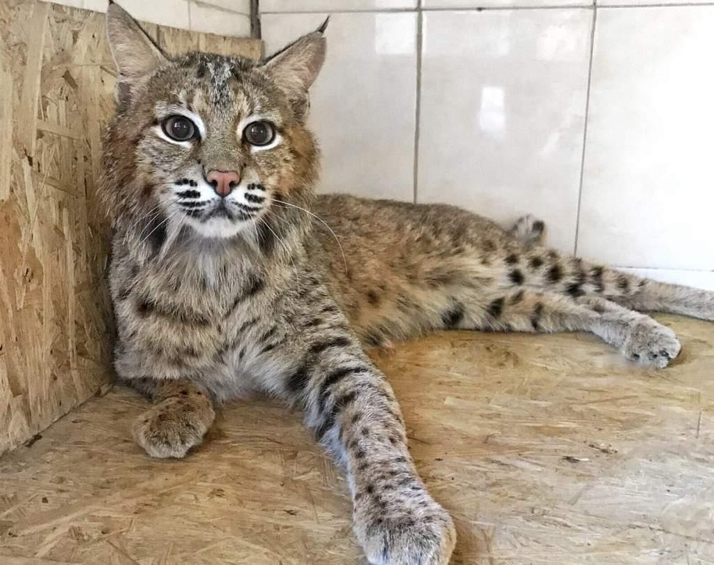 Порода кошек каракал, или рысь домашняя