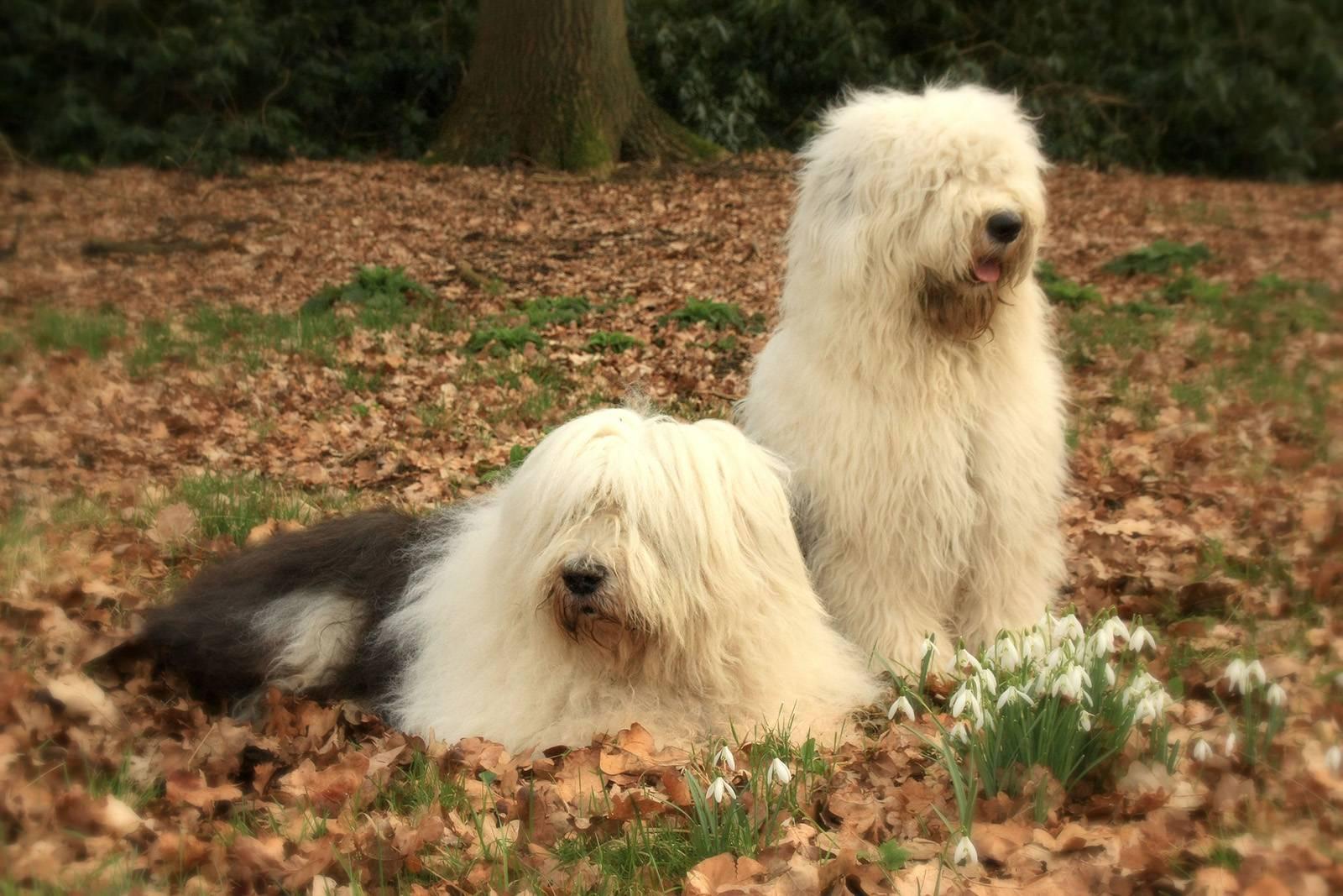 Характеристика собак породы бобтейл (староанглийская овчарка) с отзывами и фото