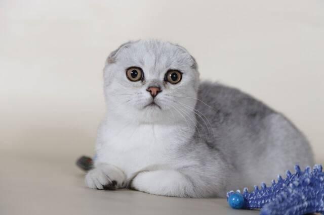 Клички для кошек мальчиков шотландцев