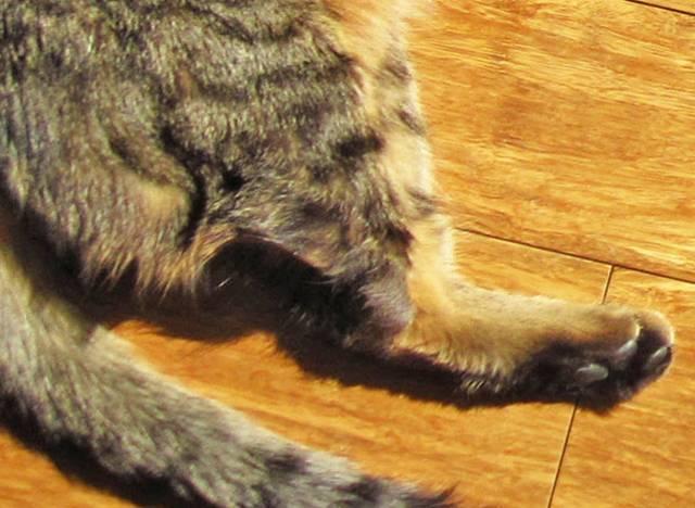 Кожные заболевания у кошек: фото и лечение, симптомы и описание грибковых и бактериальных инфекций