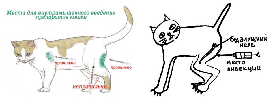 ᐉ анатомия кошки - ➡ motildazoo.ru