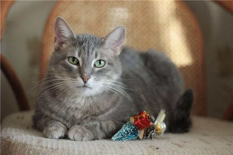 Серый кот: породы короткошерстных или пушистых питомцев, приметы и поверья о кошках разных цветов
