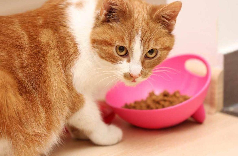Правильное питание котов после кастрации. корм для кастрированных котов — британцев: правильное питание