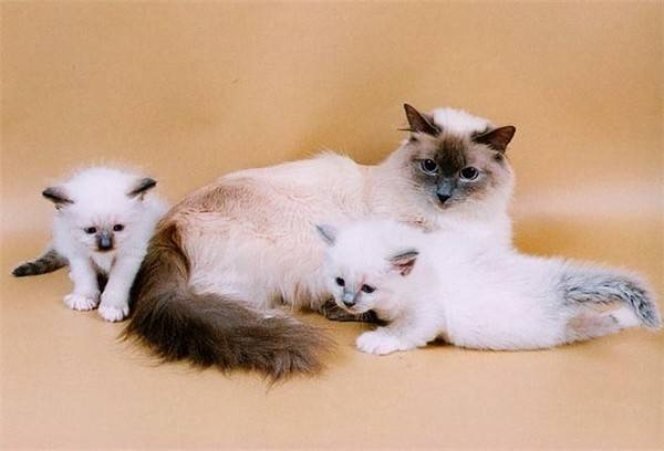 Священная бирманская кошка - описание породы от а до я + фото и отзывы владельцев