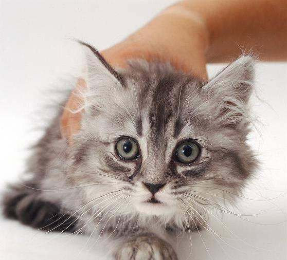 Как лечить насморк у кота в домашних условиях