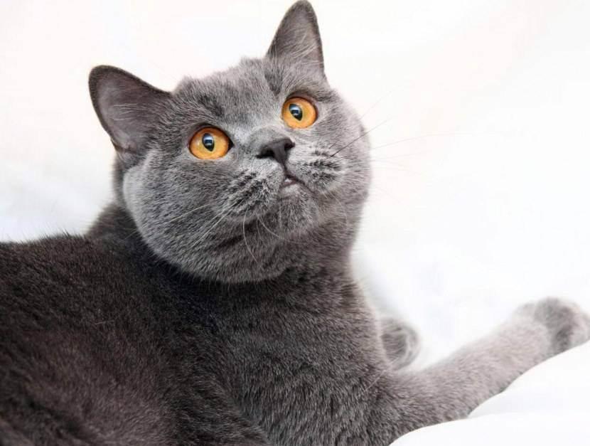 Описание короткошерстной британской кошки с фото, особенности породы и рекомендации по уходу за питомцем