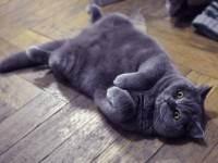 Беременность у британских кошек