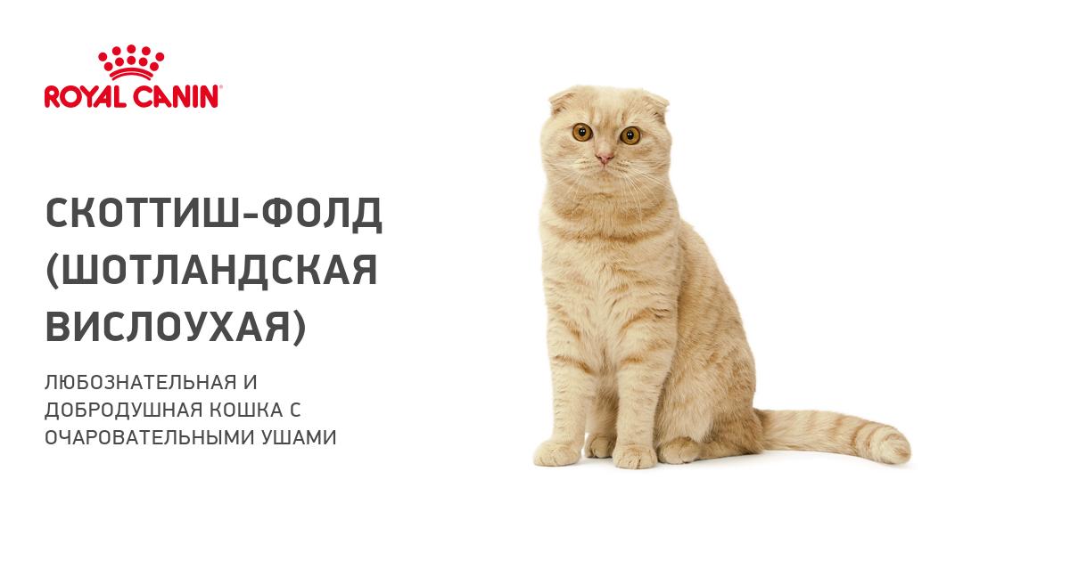 Правила вязки шотландских прямоухих кошек (скоттиш страйт)