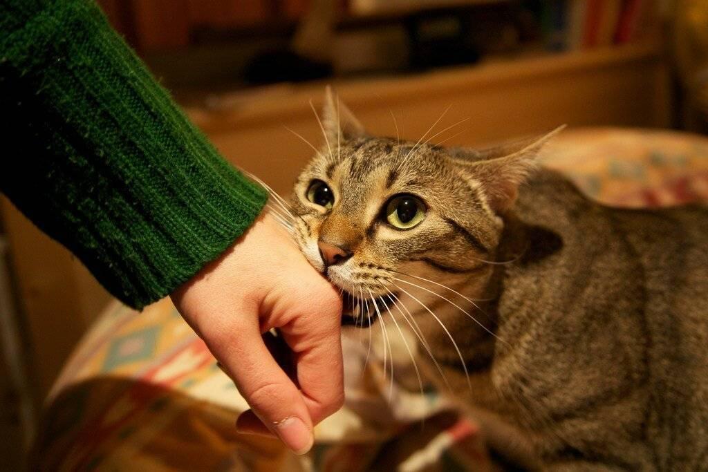 Почему кот кусается, когда его гладишь: возможные причины