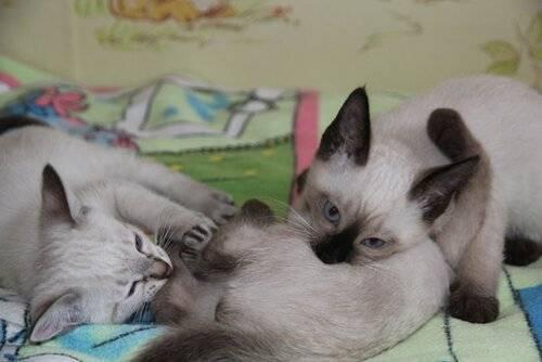 Чем кормить сиамского котенка в домашних условиях: особенности рациона питания