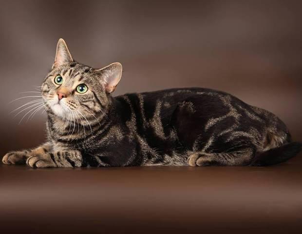 Европейская короткошерстная кошка: описание породы, фото