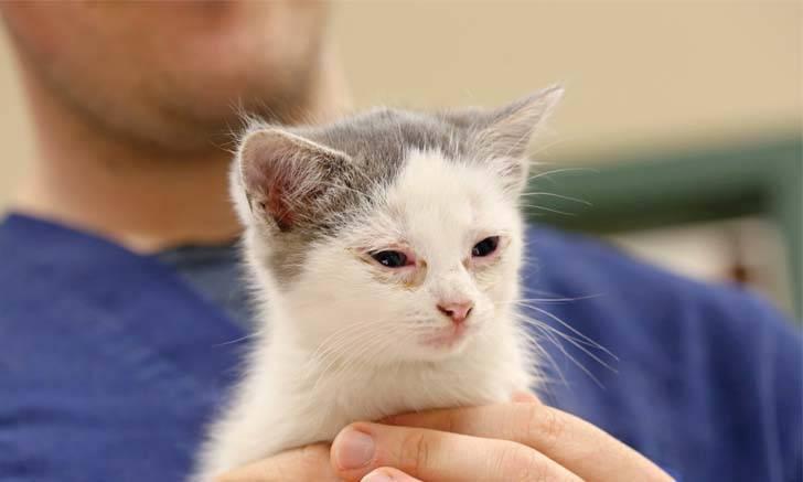 Хламидиоз у кошек, причины, симптомы заболевания, терапия, профилактика