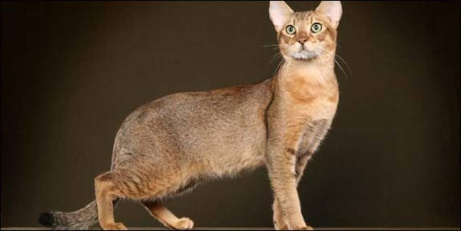 Чаузи (кошка): описание породы ф1, ф2, ф3, ф4, ф5