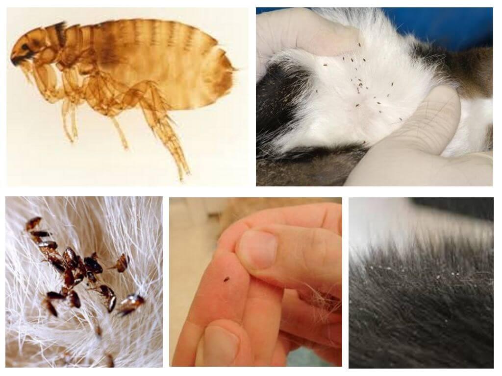 Как вывести блох у кошки в домашних условиях: средства для обработки, фото насекомых и их яиц