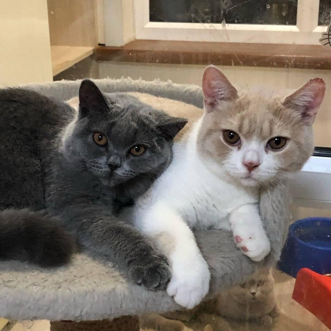 Как подружить двух кошек в одной квартире: правила содержания двух взрослых кошек