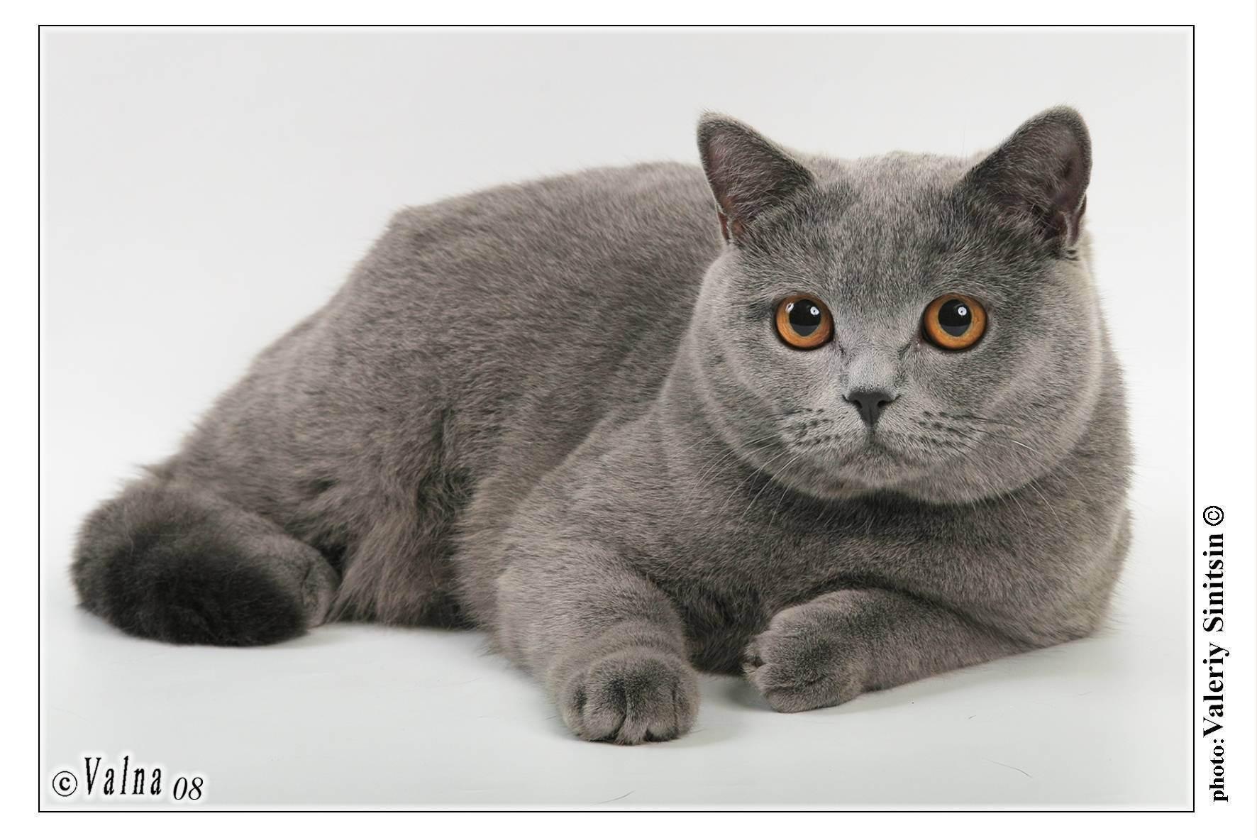Британская шиншилла (71 фото): описание шиншилловых британцев, характер кошек и котов. варианты окраса котят породы британская шиншилла