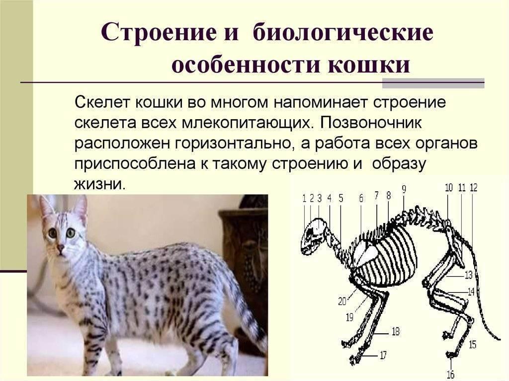 Строение кошки и биологические особенности