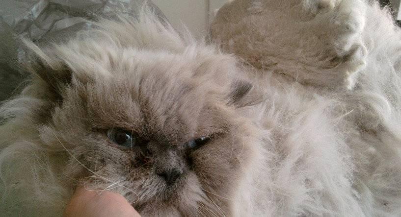 Колтуны у кошки: причины и способы борьбы