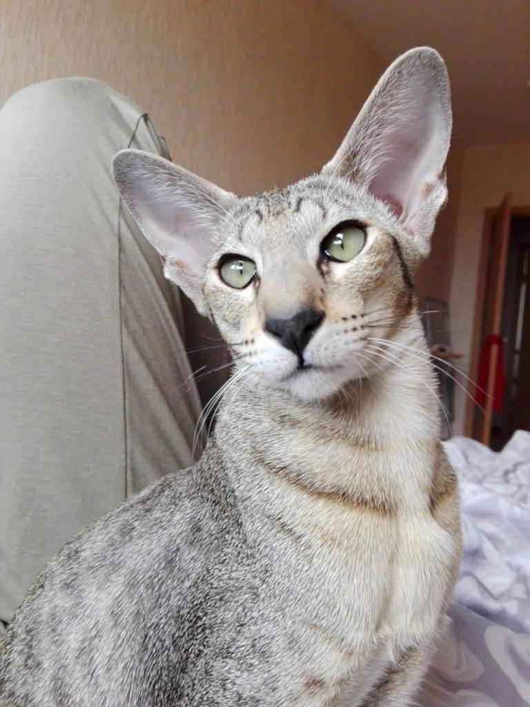 Кот с большими ушами: примеры пород