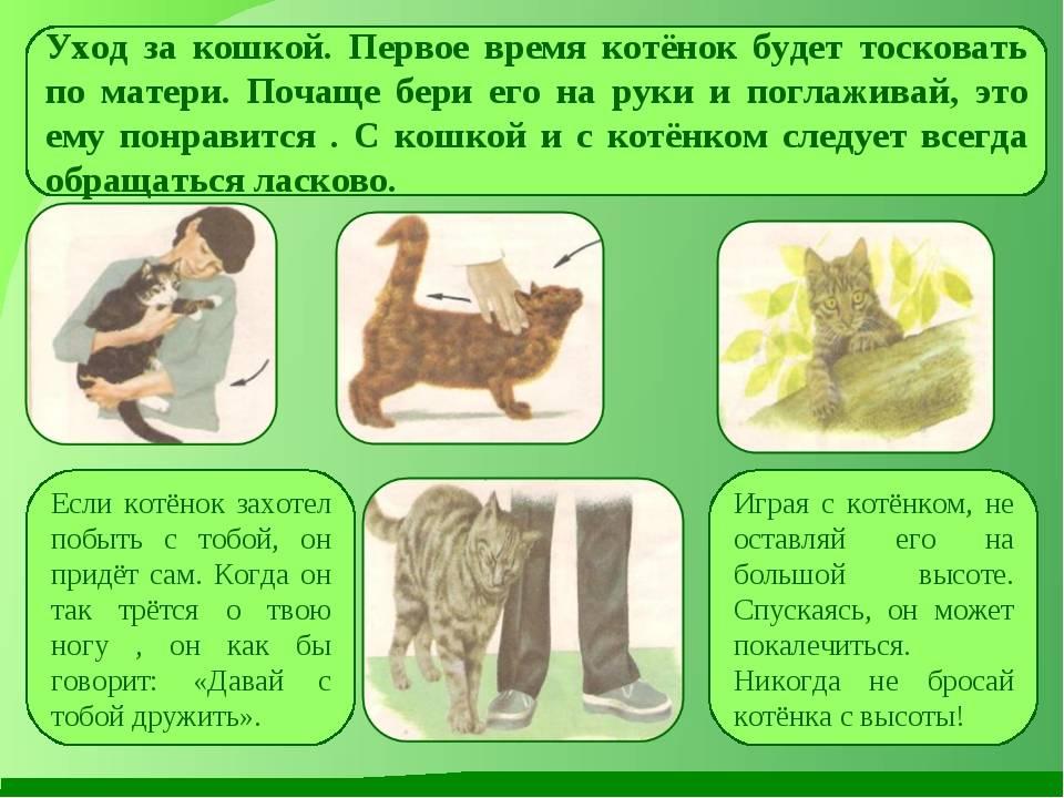 Уход за шотландским котенком: как правильно ухаживать за кошкой и котом с рождения до 2 месяцев и в дальнейшем? правила воспитания