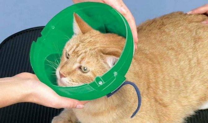 Сколько носить воротник после кастрации кота: ошейник для кошек после операции