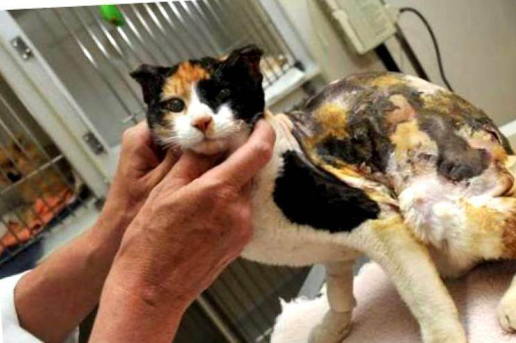 Гипоаллергенные кошки: какую породу выбрать при аллергии на животных