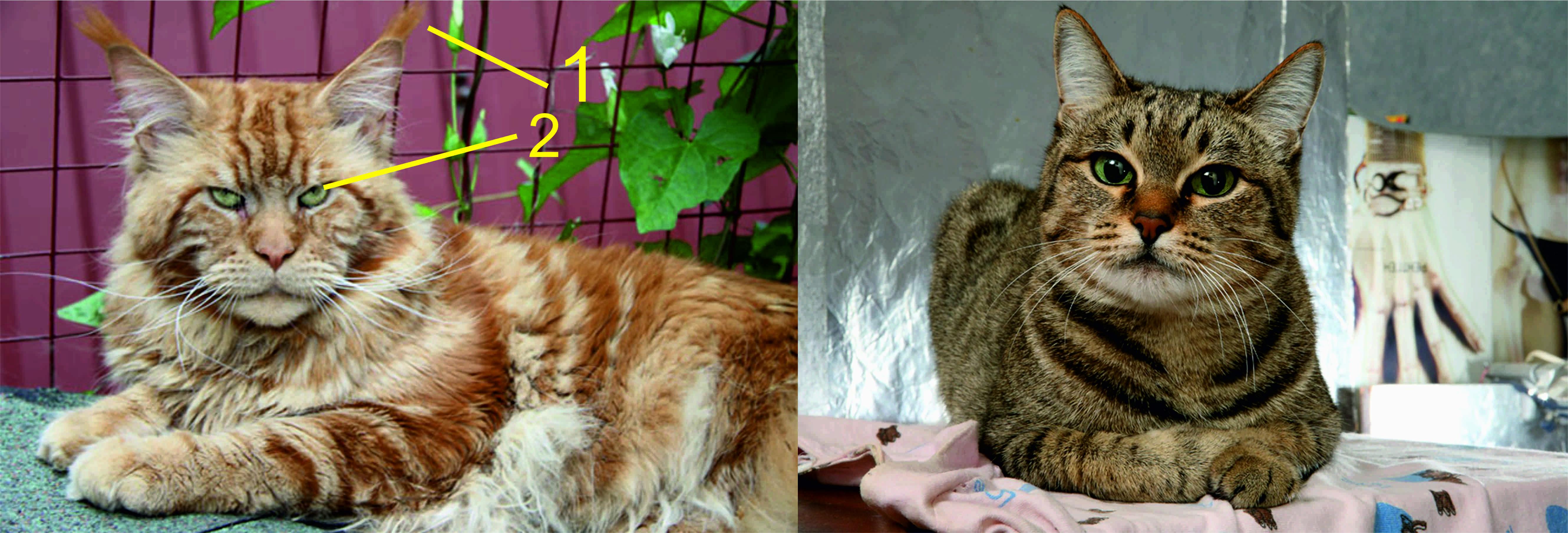 Хотите завести котёнка породы мейн кун? рекомендации по выбору и уходу за питомцем