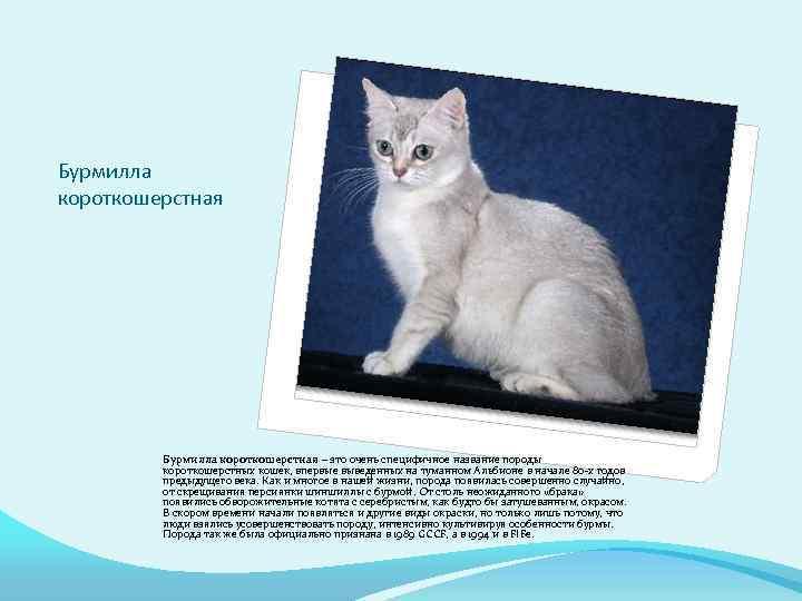 Анатолийская кошка (турецкая короткошерстная ) кошка: подробное описание, фото, купить, видео, цена, содержание дома